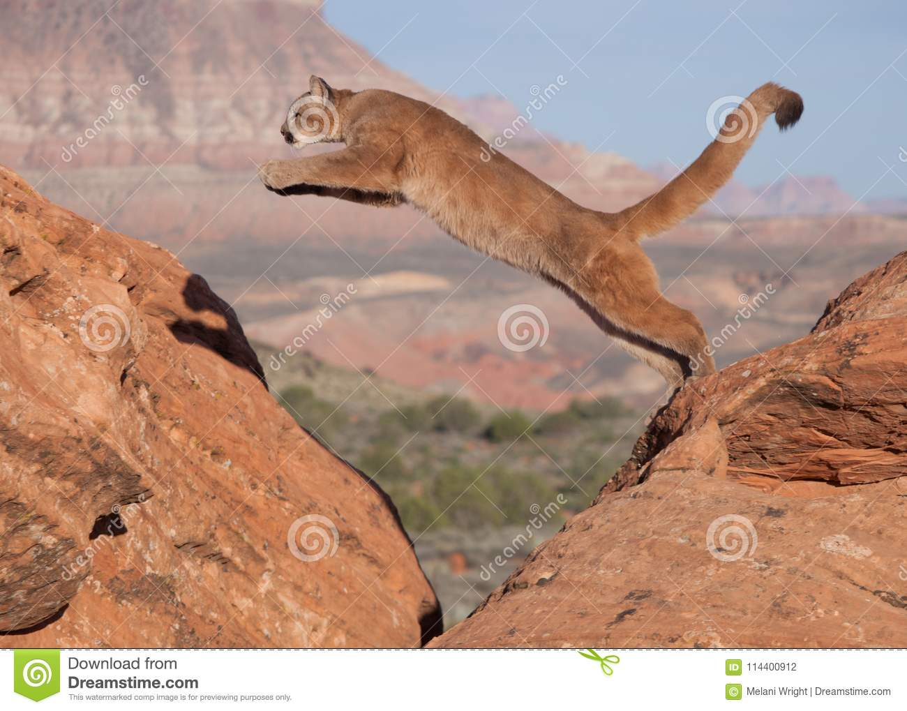 A young cougar jumping from one red sandstone boulder to another with a southwestern desert and mesa in the background