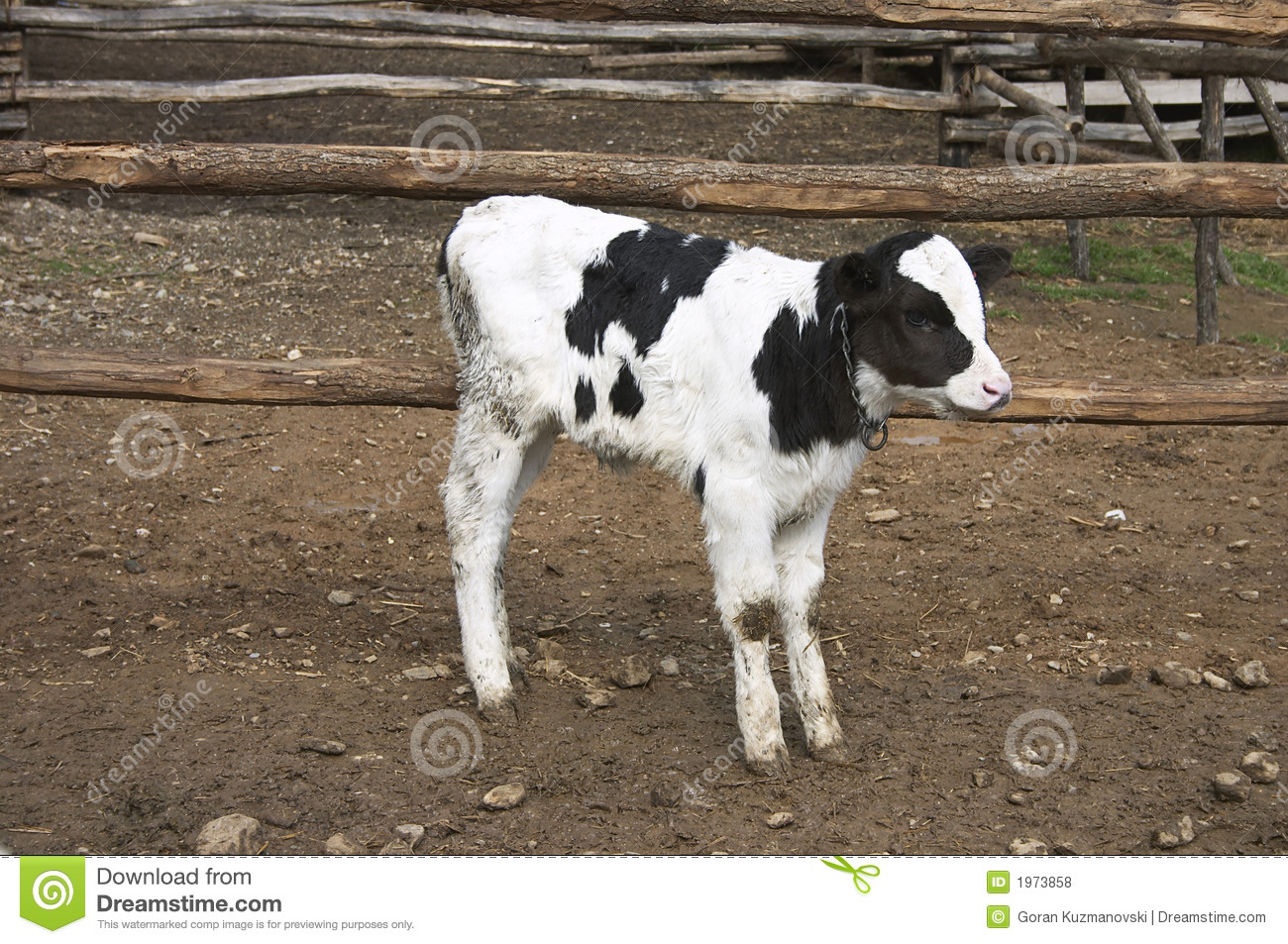 young cow in a farm royalty free stock photos