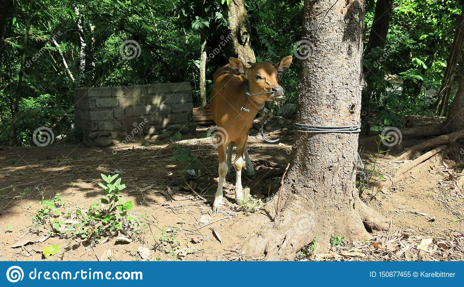 Young cow tied with rope to tree in jungle. Cow of local cattle breeders on Bali island in Indonesia.