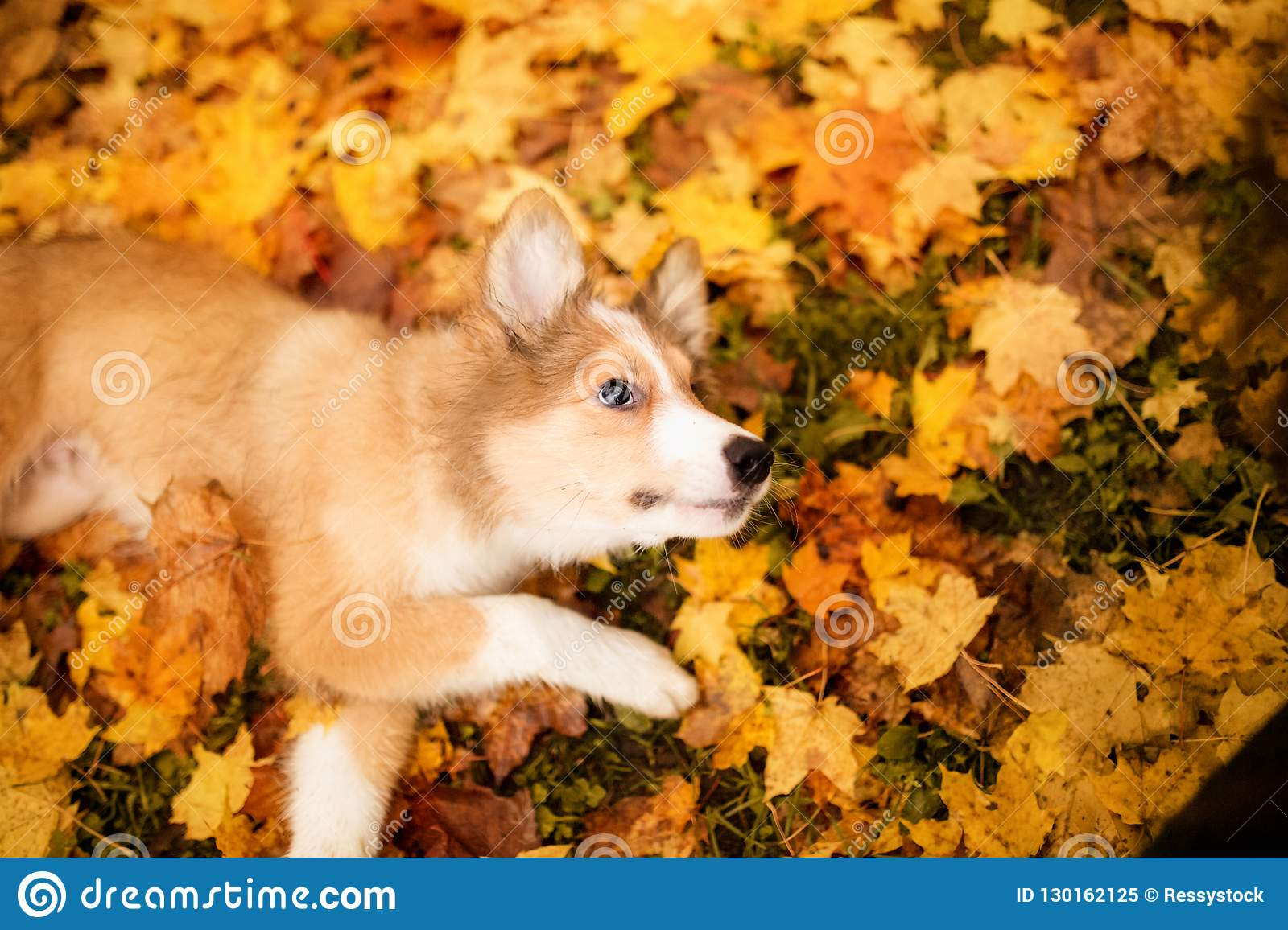 Young Red Border Collie Dog Playing With Leaves In Autumn Stock