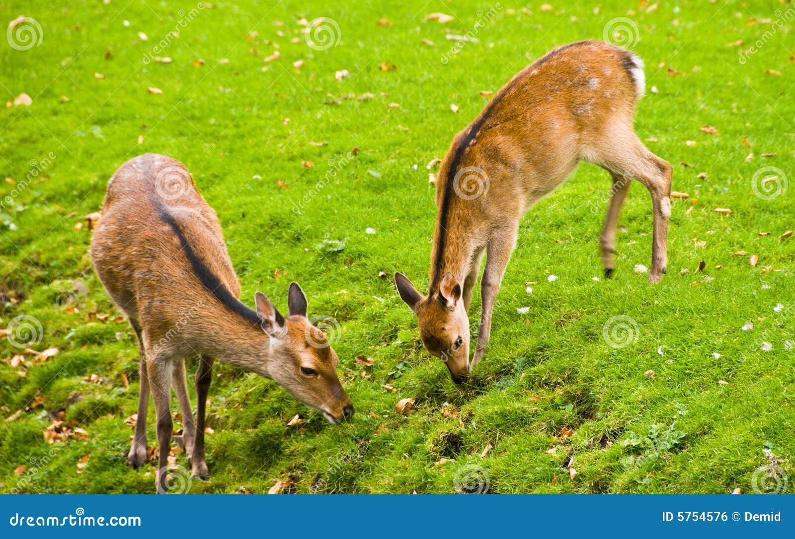 Ungulate Zoo Young Deers Eating Roy...