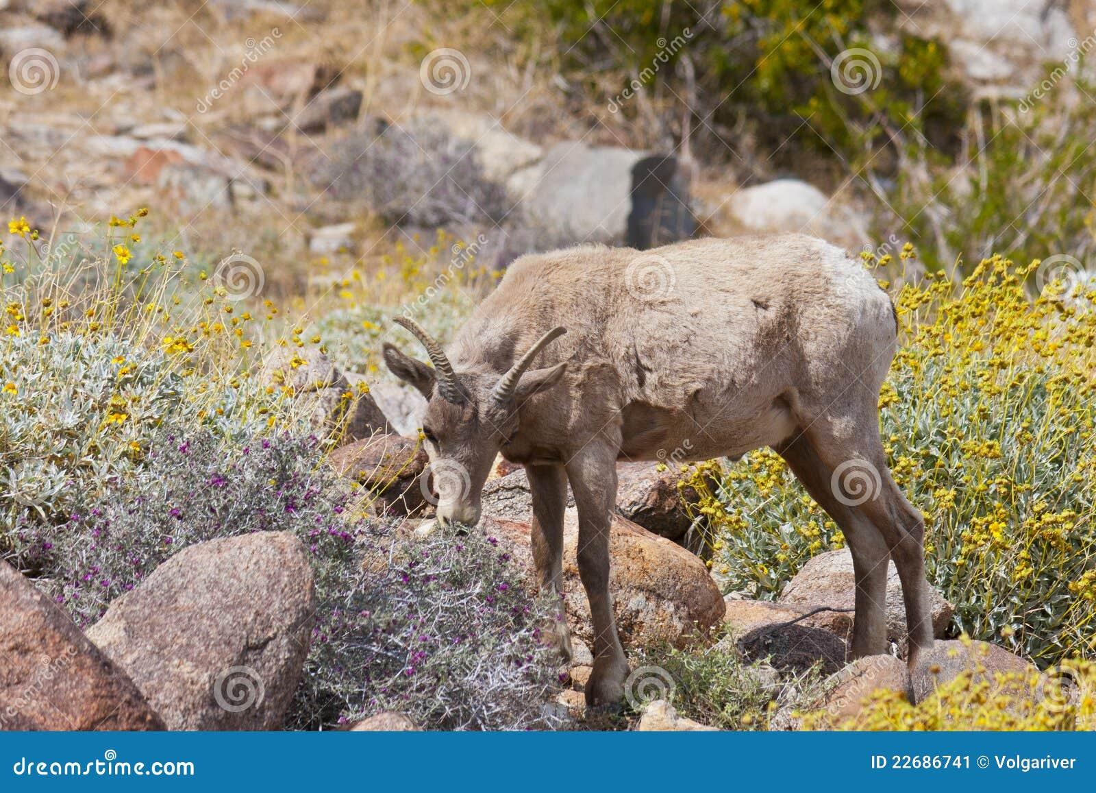 Young Desert Bighorn Sheep in Anza Borrego Desert.