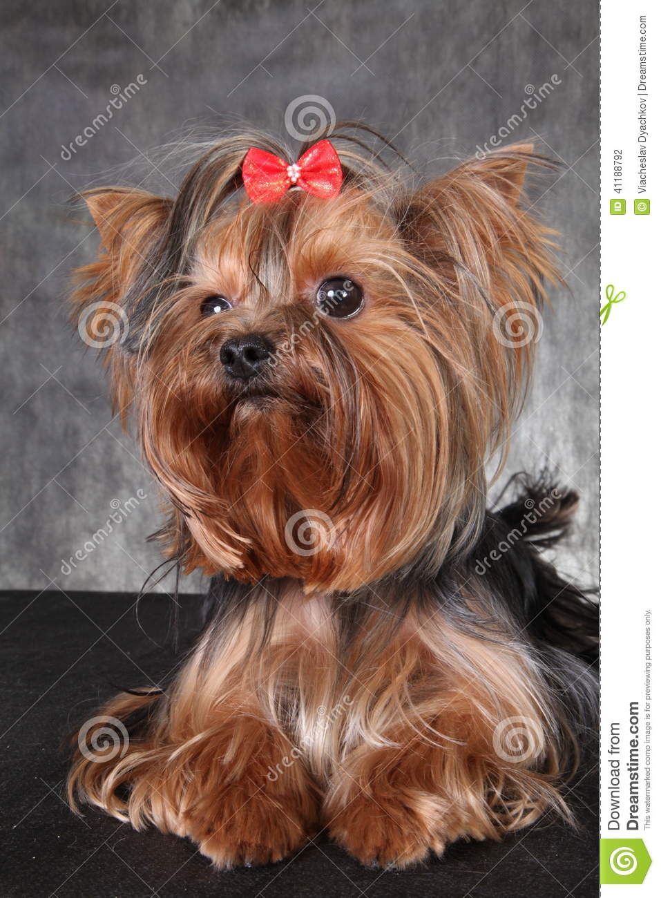 dog breed yorkshire terrier stock photography 69933866. Black Bedroom Furniture Sets. Home Design Ideas
