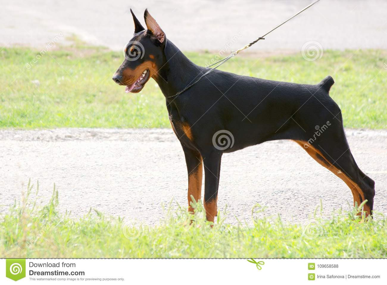 Young Dog Puppy Female Doberman Pinscher In A Rack Stock Photo