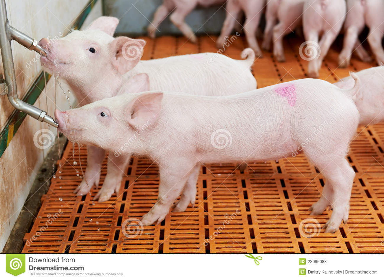 Young drinking piglet at pig farm