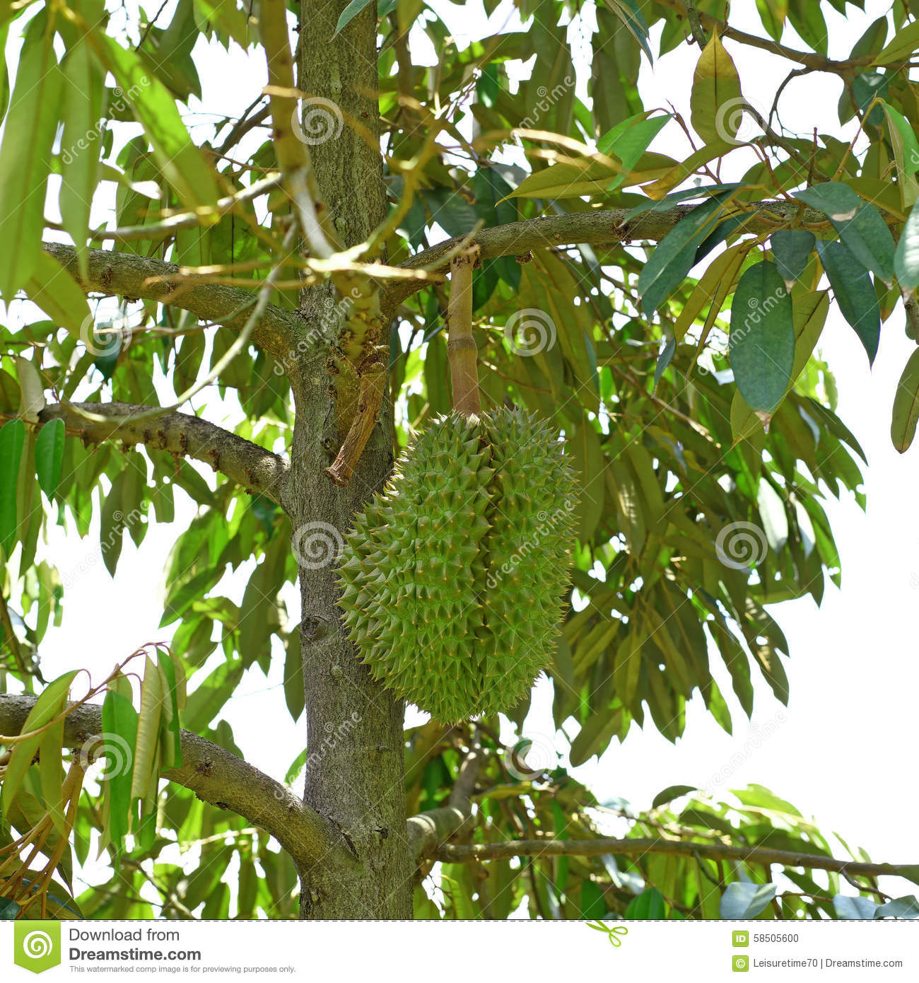 Young Durian On Durian Tree Stock Photo - Image of juicy