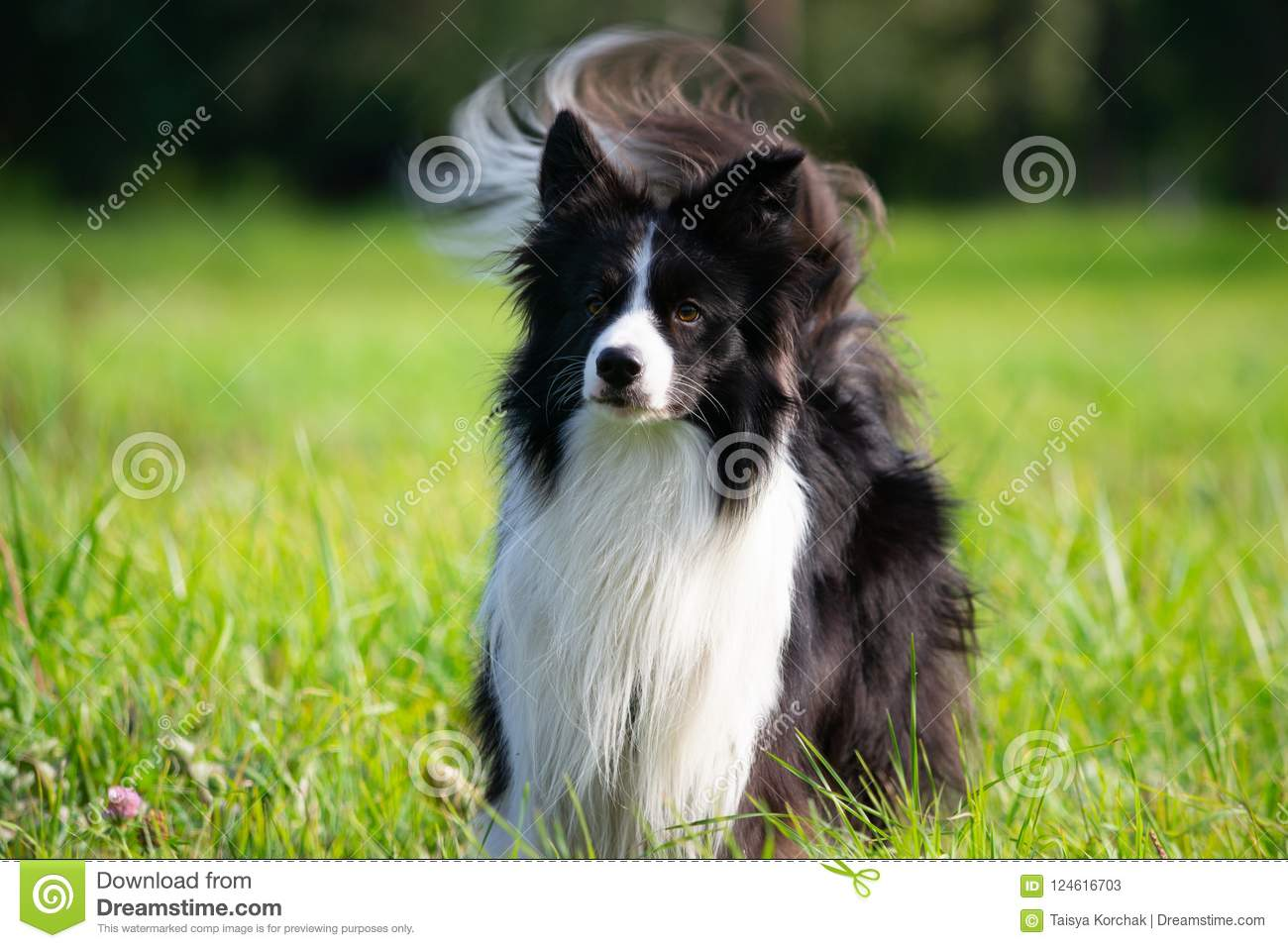 Young energetic dog on a walk. Border Collie.