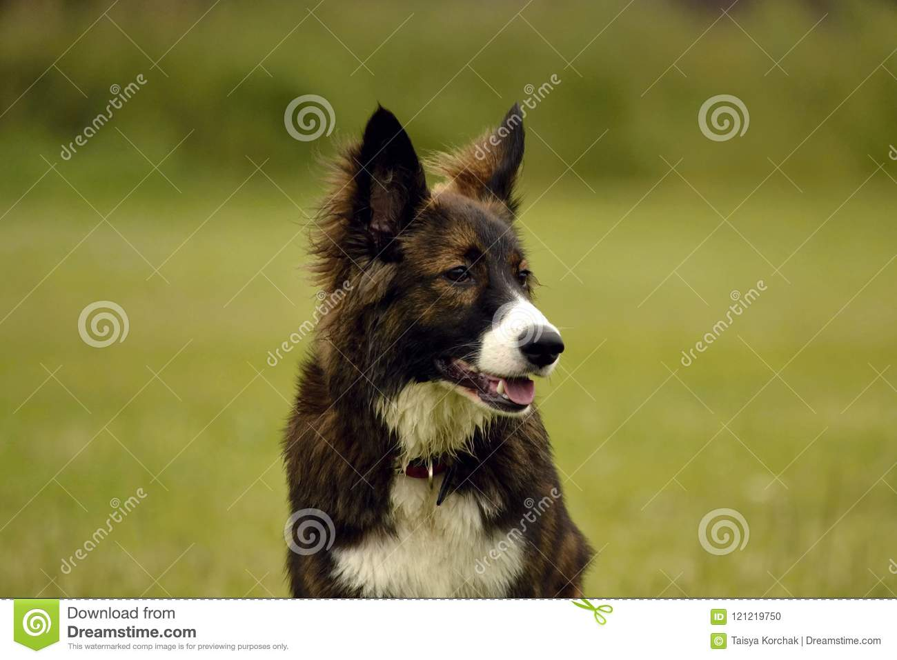 Emotions of animals. Young energetic dog on a walk. Puppies education, cynology, intensive training of young dogs. Walking dogs in