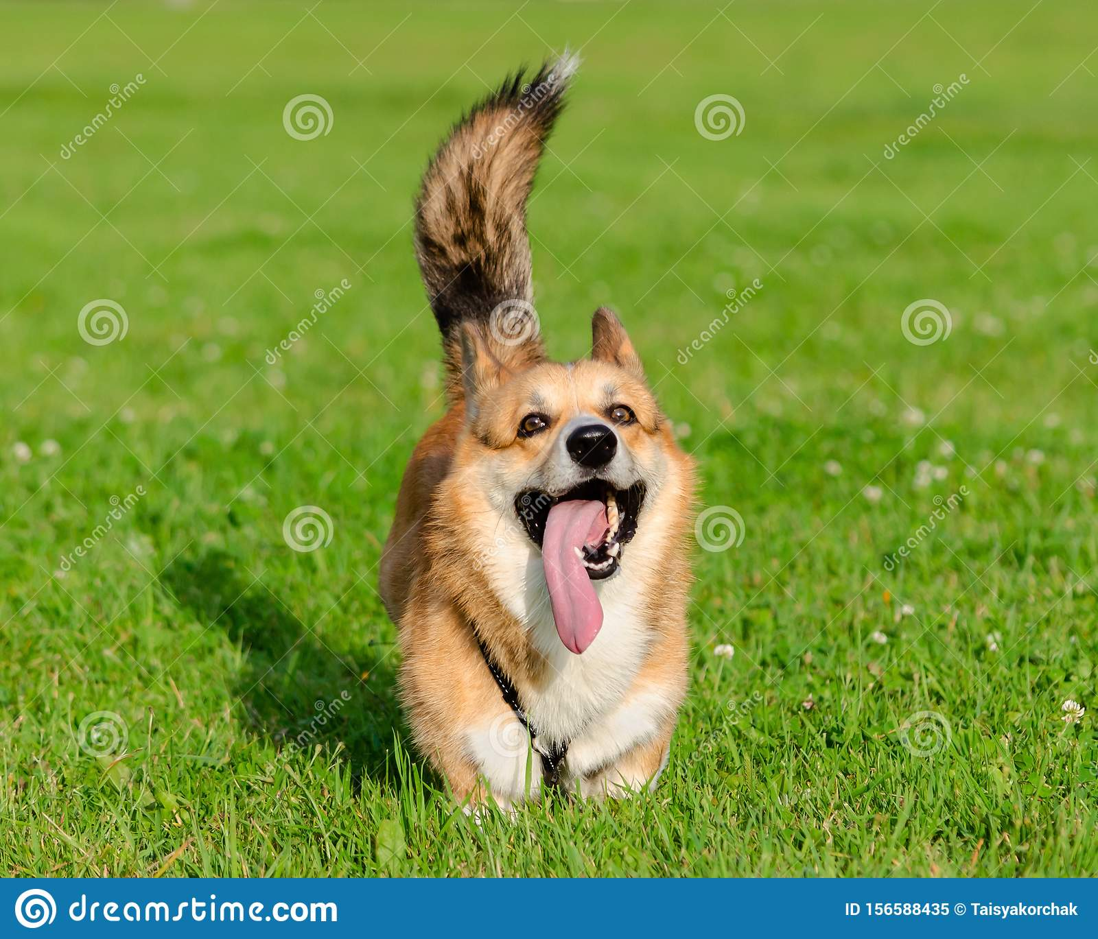 Young Energetic Welsh Corgi Pembroke Is Running Corgi With A Long Tail Stock Image Image Of Health Pedigree 156588435