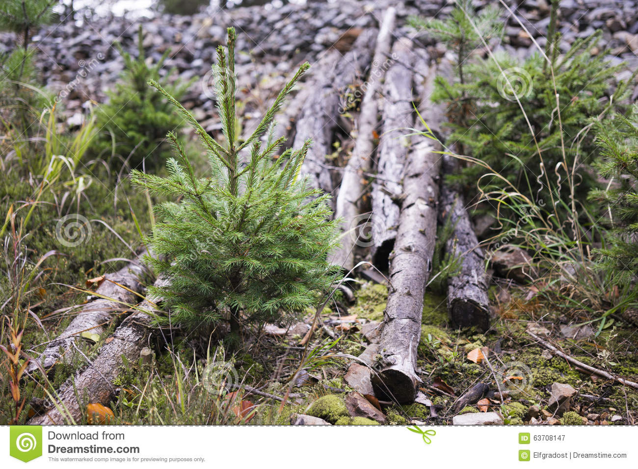 Young evergreen trees growing beside cut logs stock image for Tree sapling