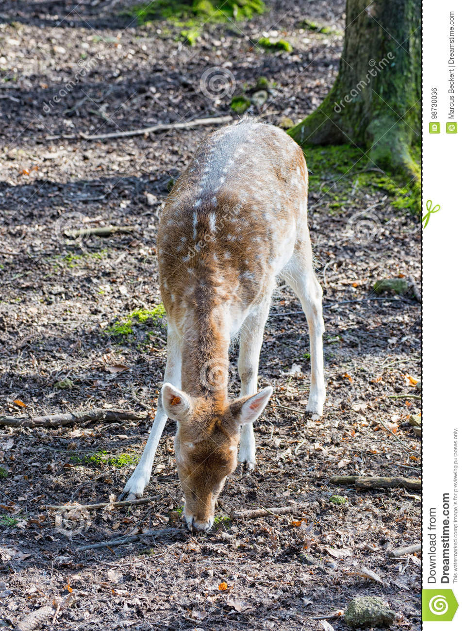 Young Fallow Deer Looking For Food On The Forest Floor Stock