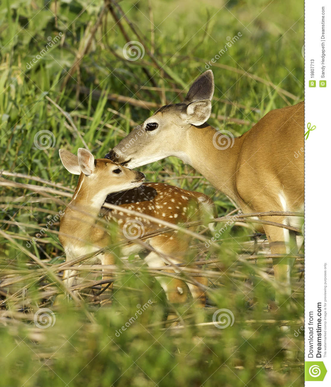 Young Fawn and Doe Interacting