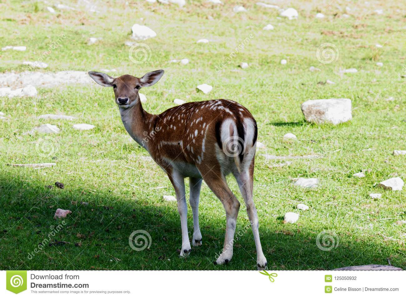 Young female deer with her spot in the meadow
