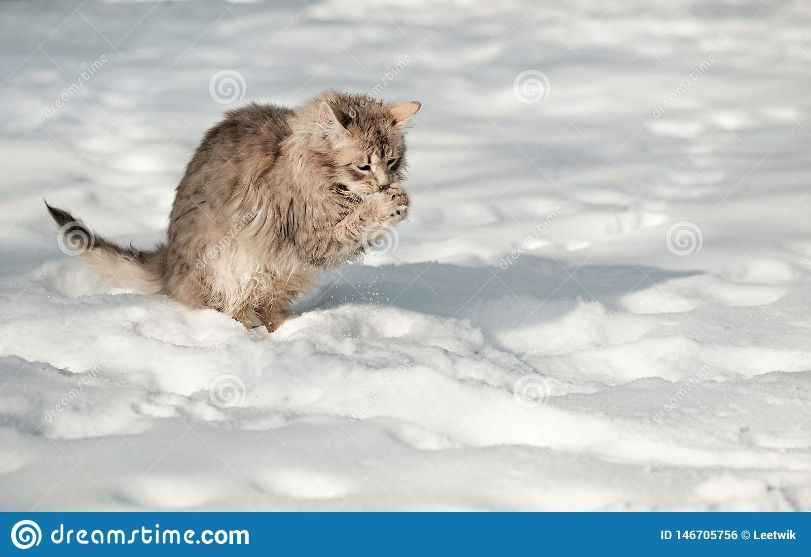 Young fluffy gray cat eats snow