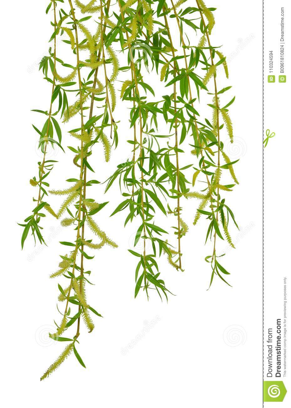 Young foliage and flowers of willow. Isolated. Spring. nature. F