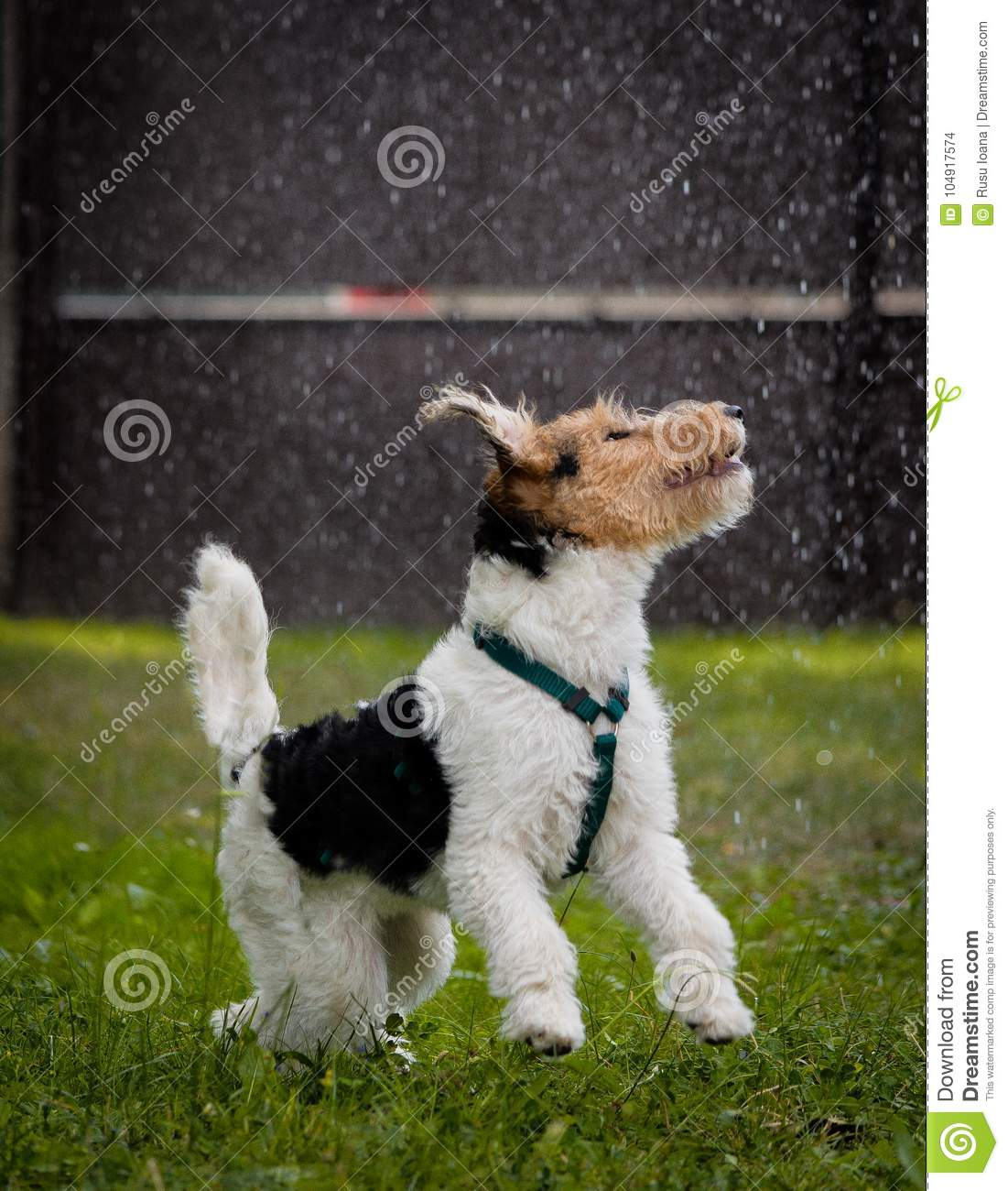 Fox Terrier Playing In Rain Stock Photo - Image of purebred, pooch ...