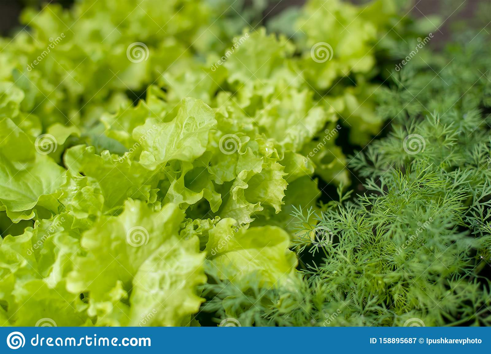 Young fresh lettuce with fragrant dill in ecological home farm. Eco-friendly formal vegetable backyard garden. Green organic