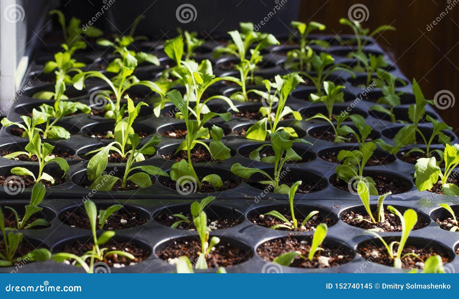 Young fresh seedlings in plastic pots, organic growing vegetables