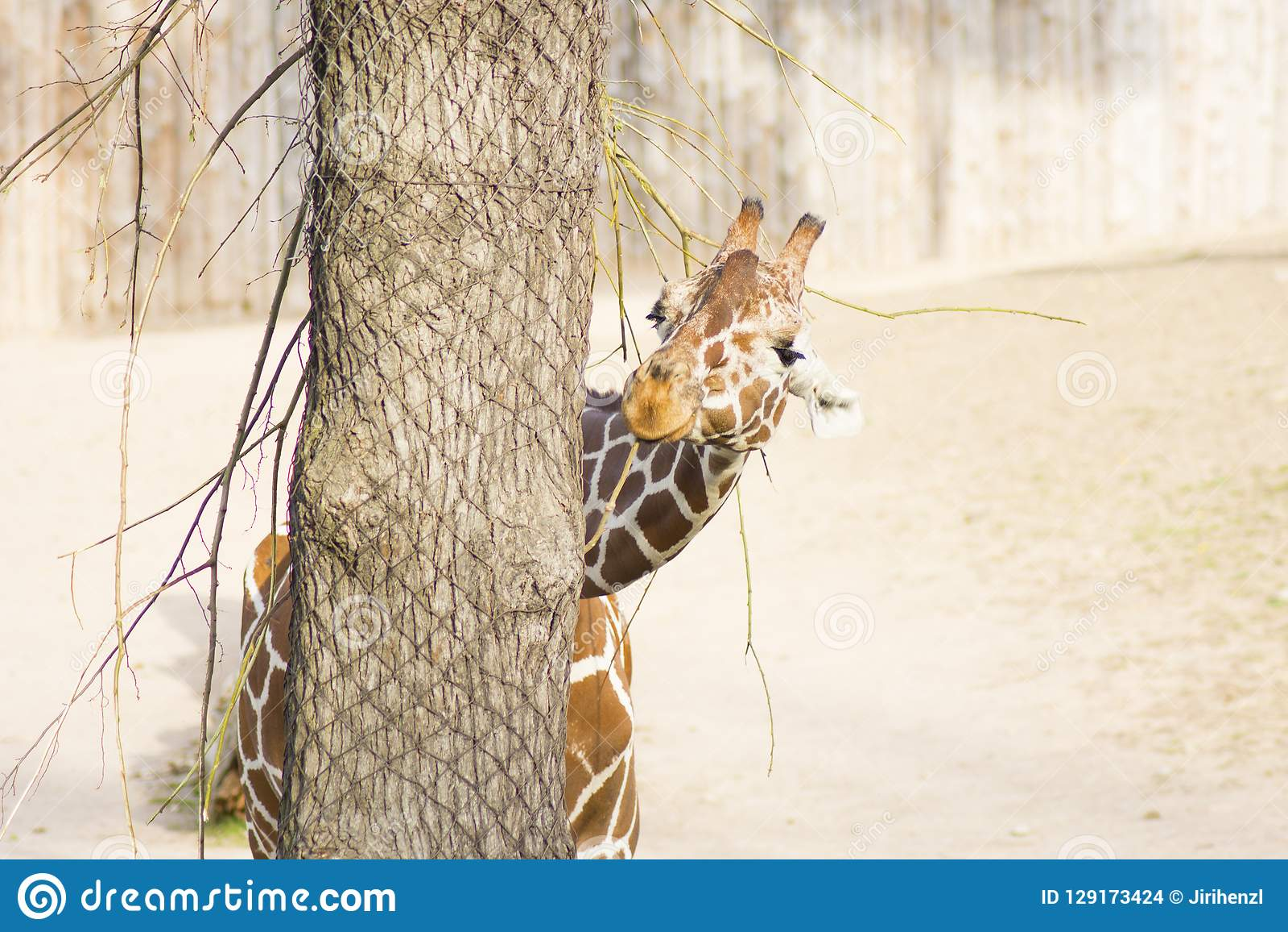 Young funny giraffe