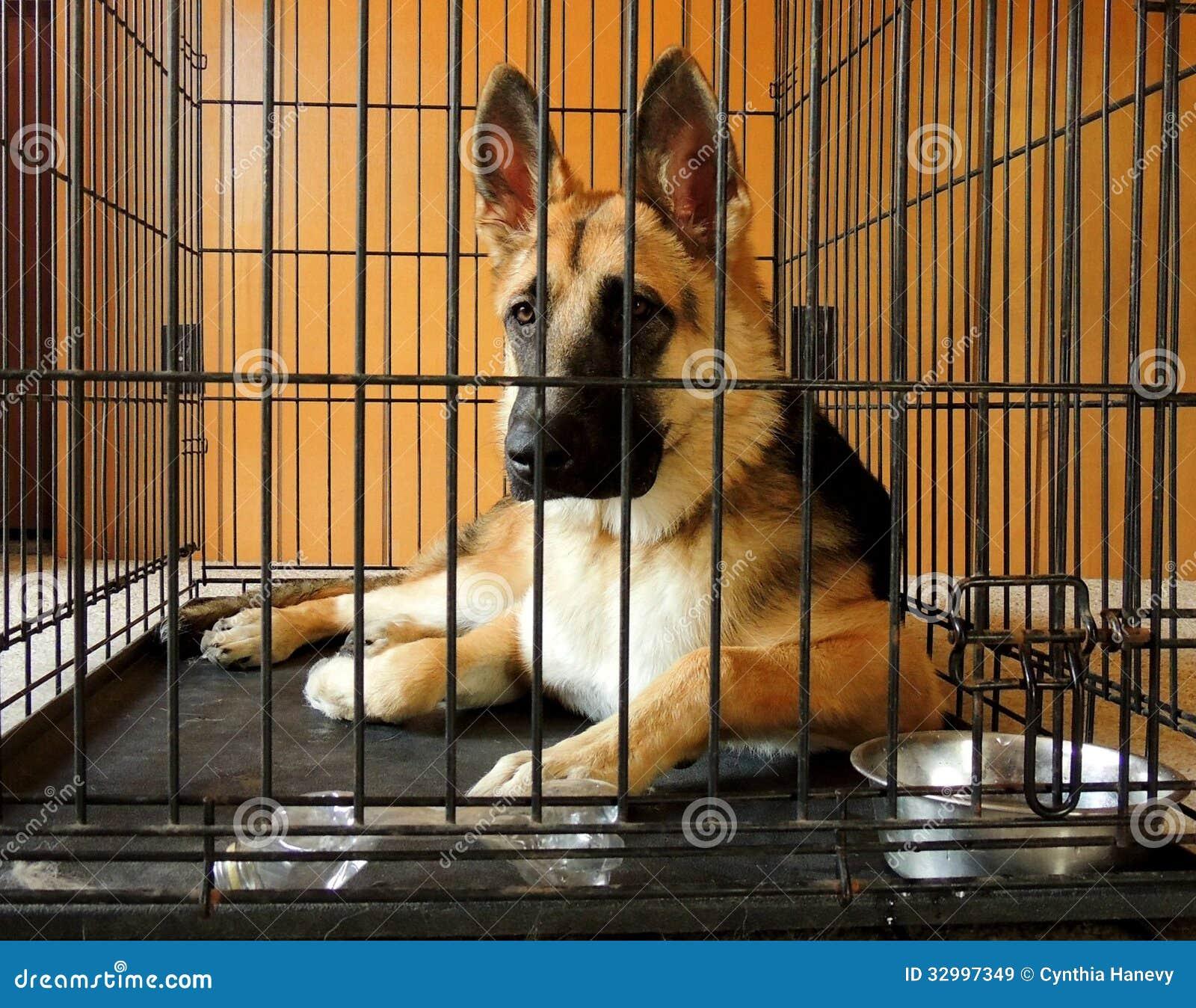 Young German Shepherd in crate