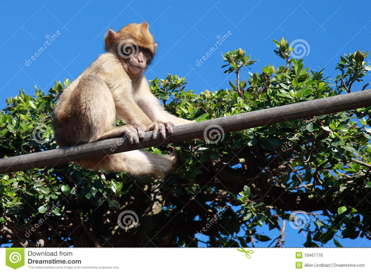 Download Young Gibraltar Ape stock photo. Image of gibraltar, young - 18467776
