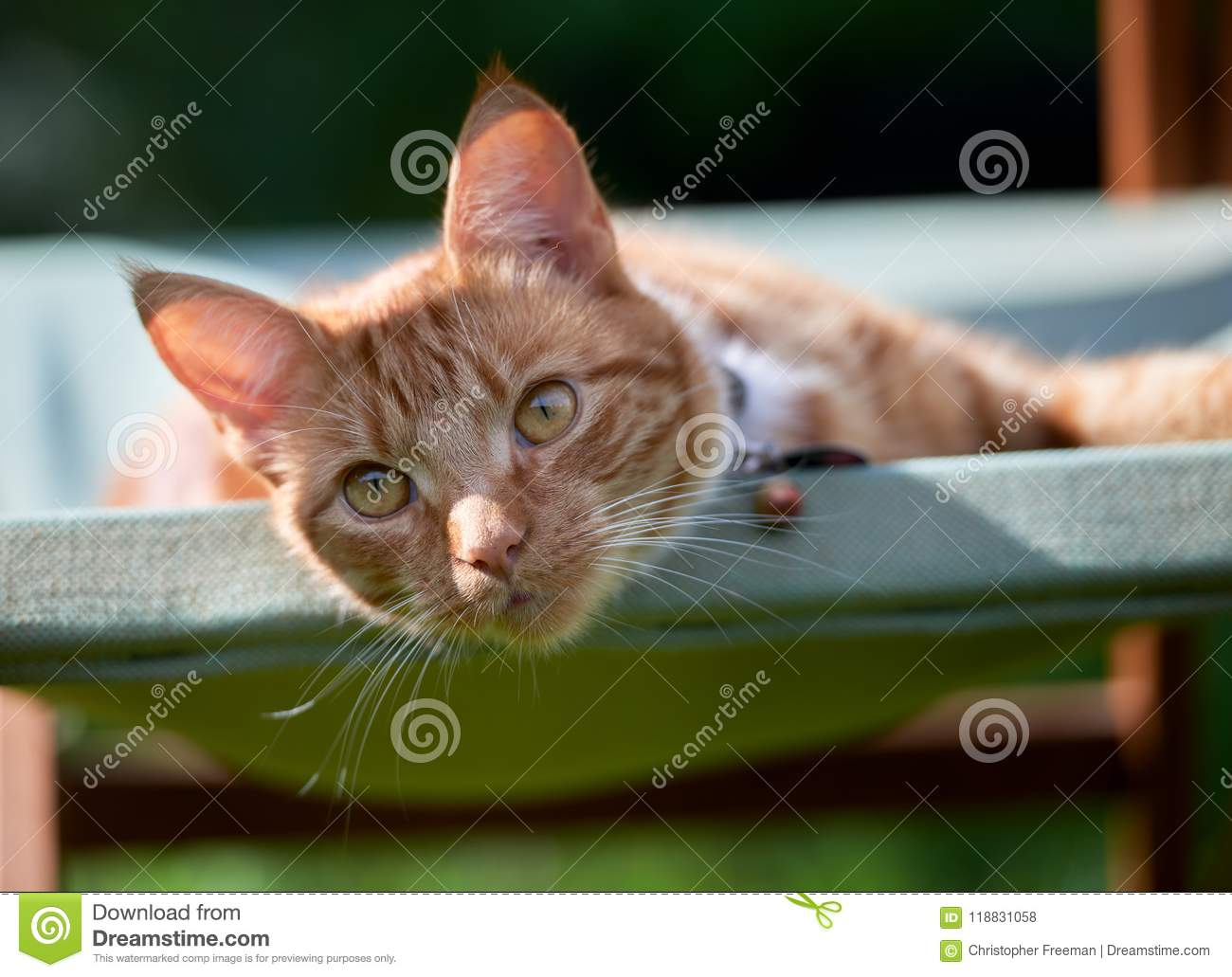 Handsome young ginger red tabby cat laying on a green garden chair looking relaxed