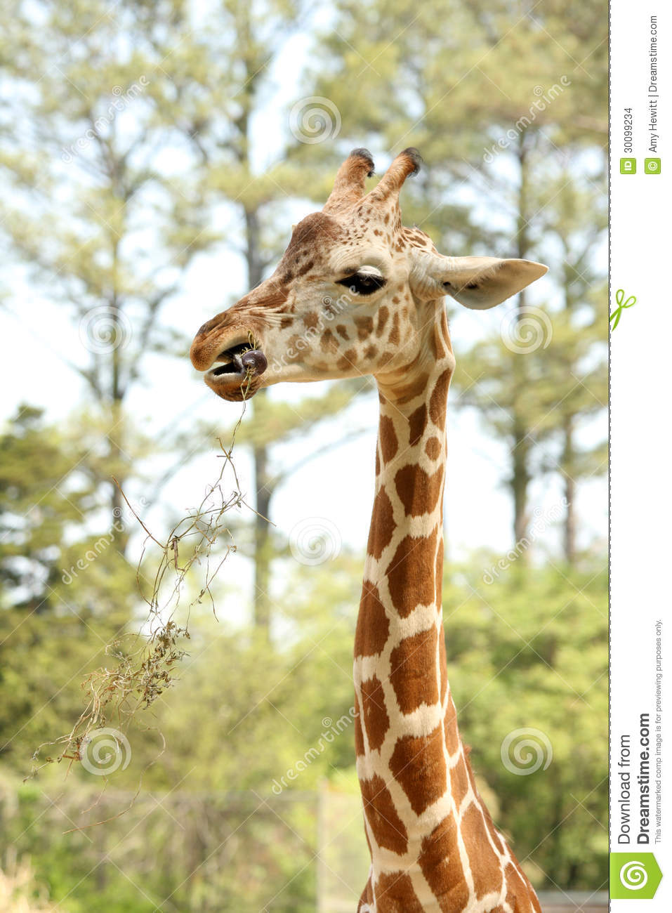 what does a baby giraffe eat