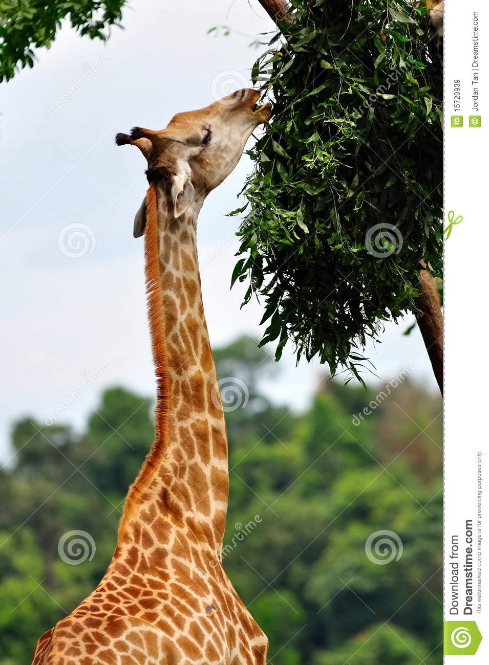 Young Giraffe Eating Leaves Royalty Free Stock Images - Image ...