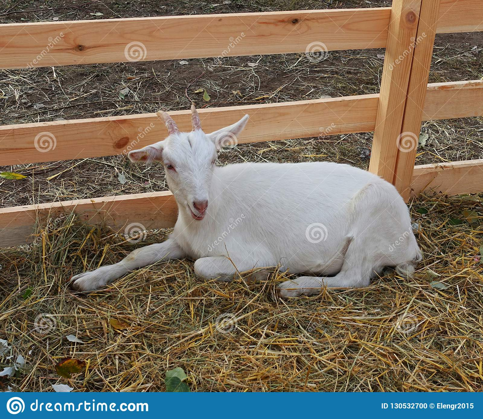 Young goat in the aviary