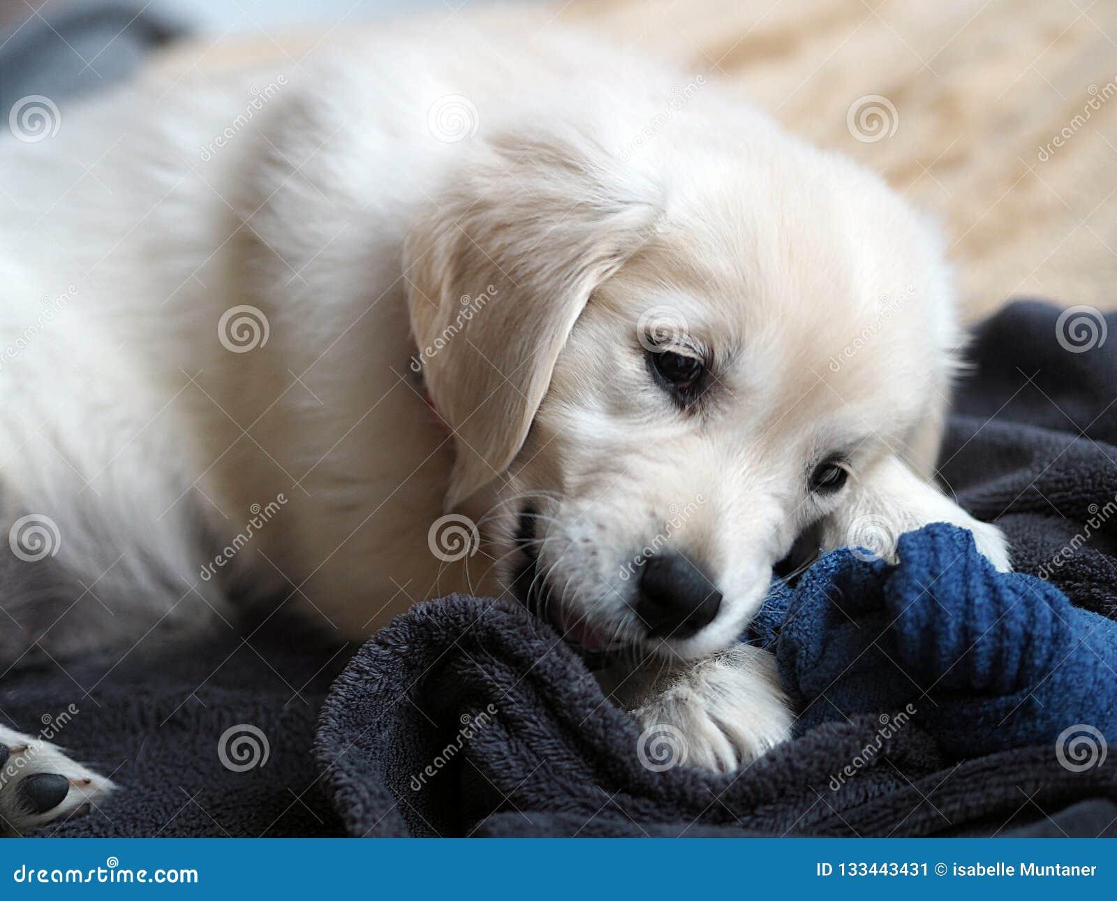 Young Golden Retriever Puppy In Full Destruction Of Sock
