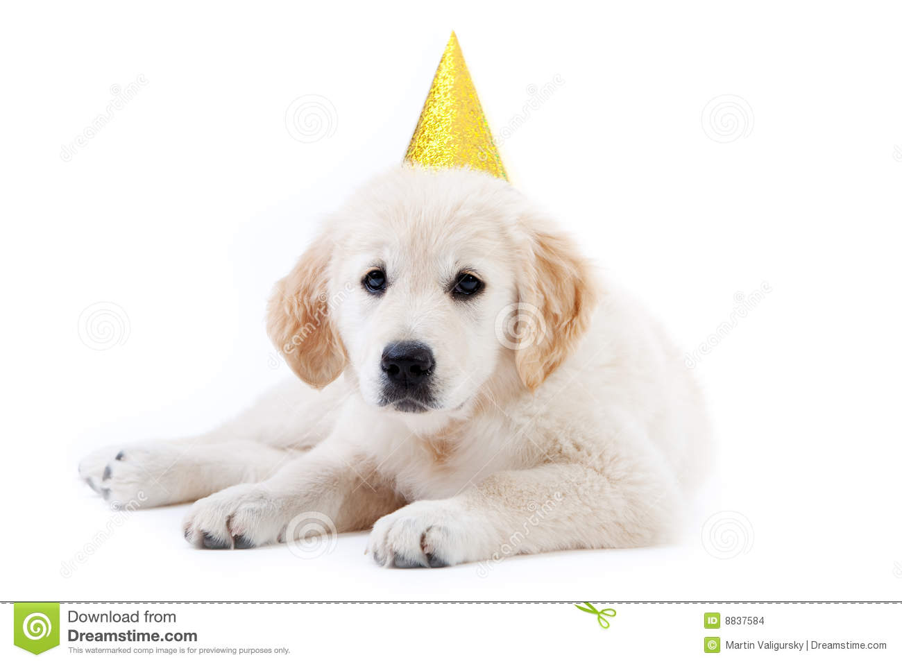 Young Golder Retriever Puppy With Birthday Hat