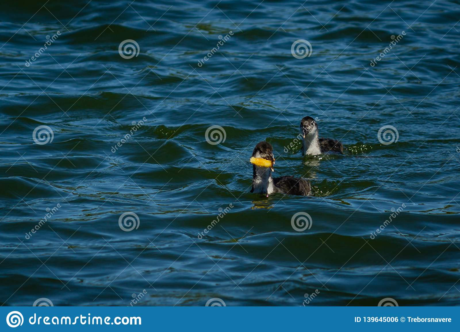 Young goose on the water