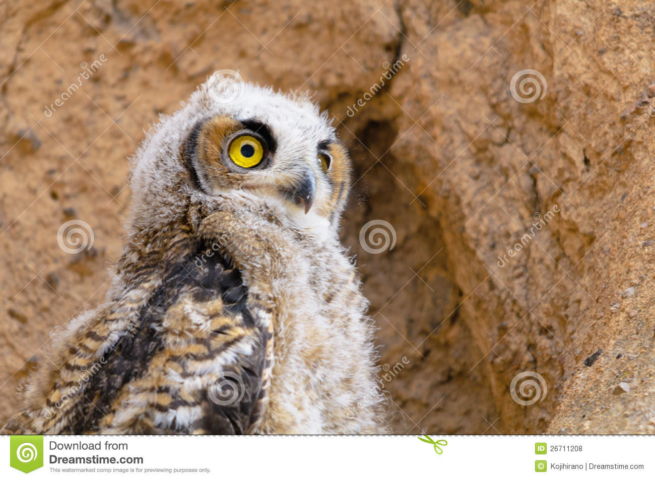 great-horned-owl-young