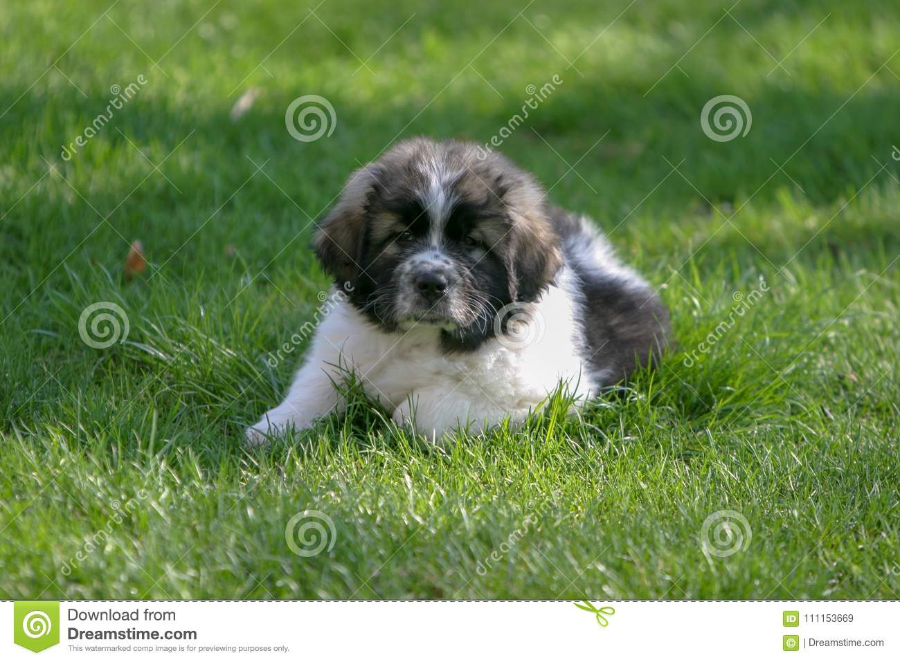 Young Great Pyrenees / Newfoundland puppy enjoying a spring day