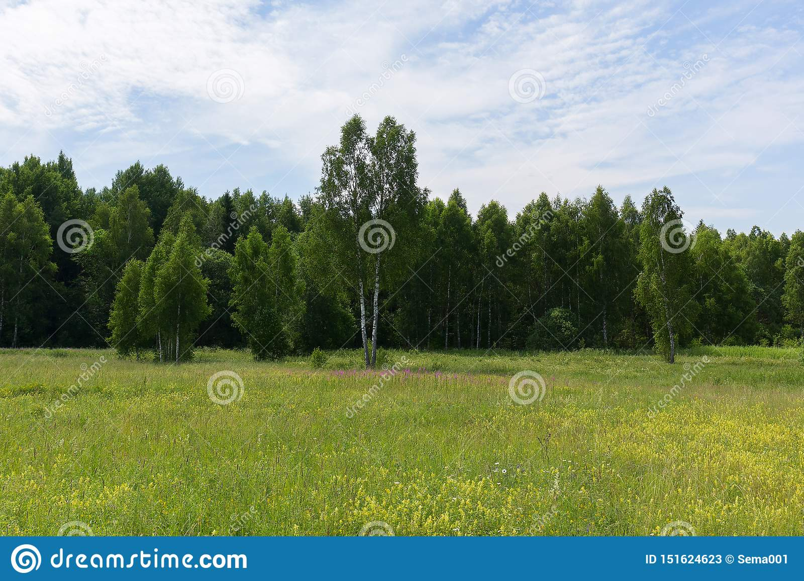 Young green birches in a meadow at the edge of the forest on a clear Sunny morning. Natural scenery.