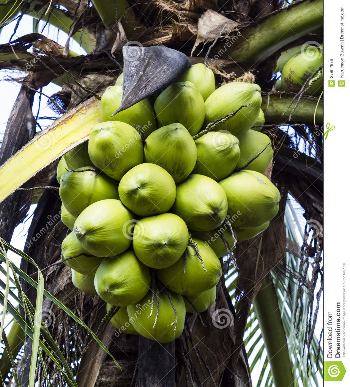 how to cut a fresh aroma young coconut