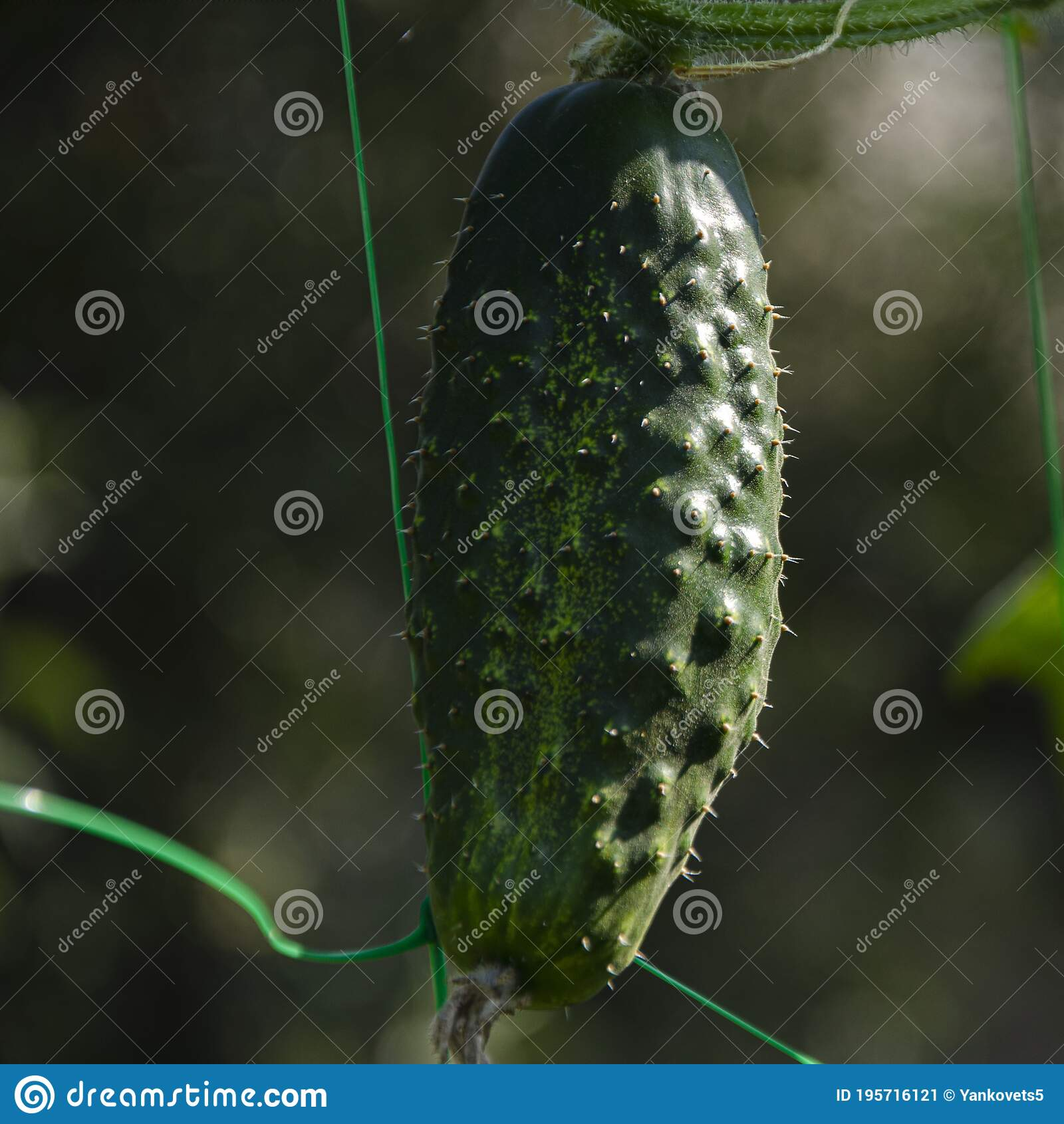 young-green-cucumber-thorns-grows-grid-p