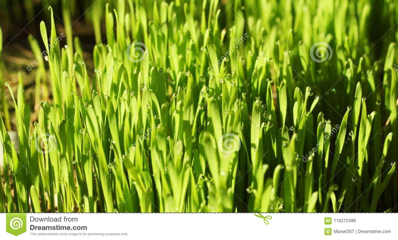 Young Green Grass With Water Droplets Stock Image