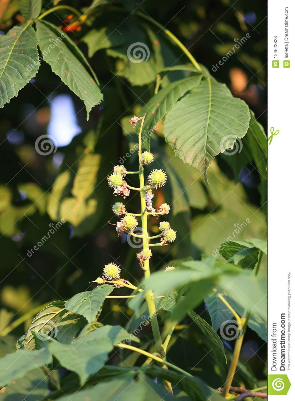 Young green unripe prickly chestnuts on tree branch