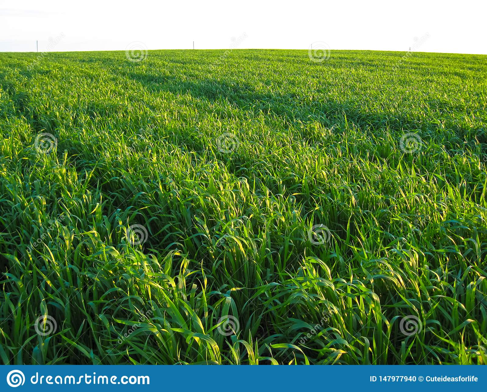 Young green wheat field in the rays of the sunset
