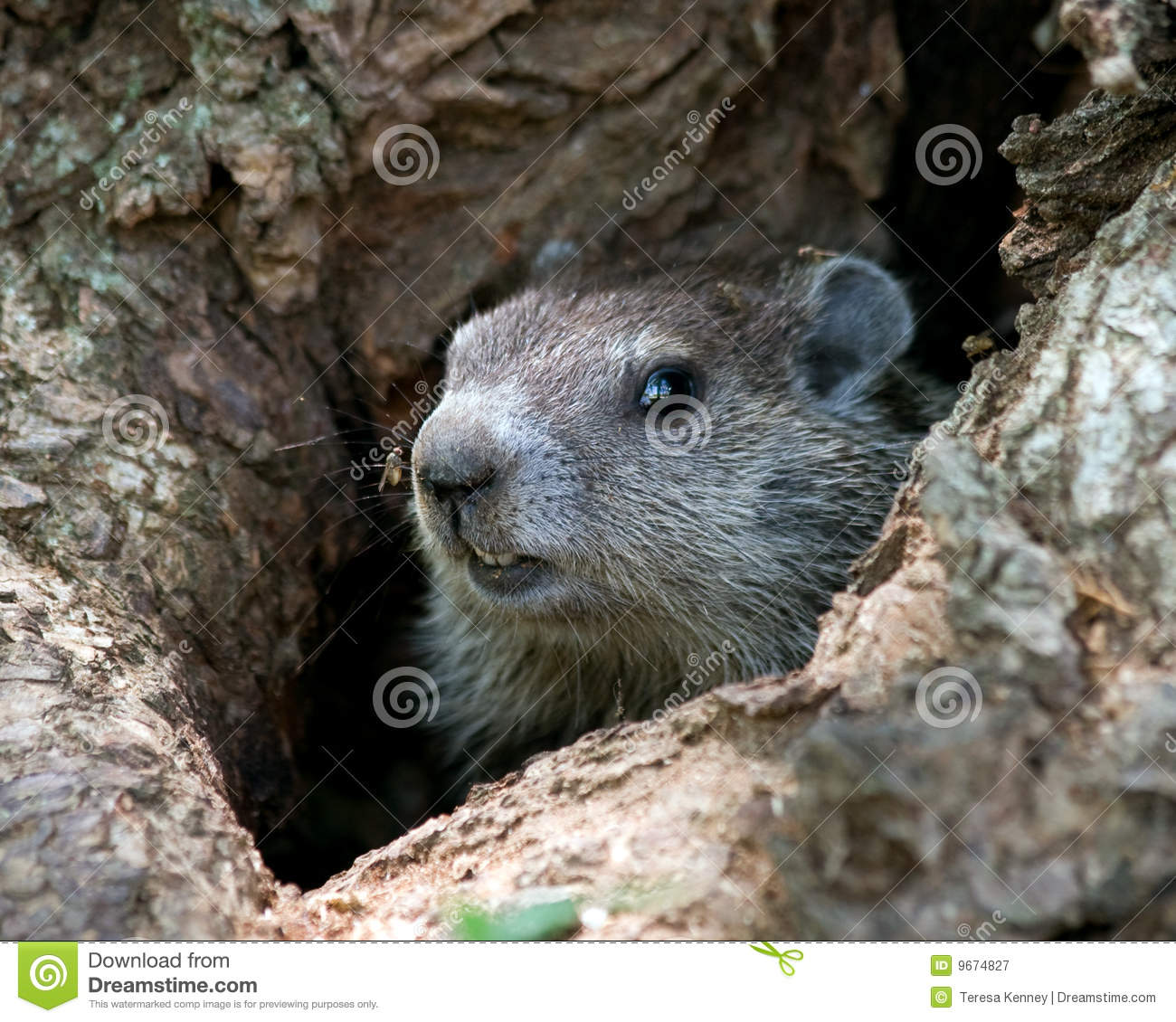 young groundhog in tree royalty free stock photography fortune cookie clip art free Chinese Food Clip Art