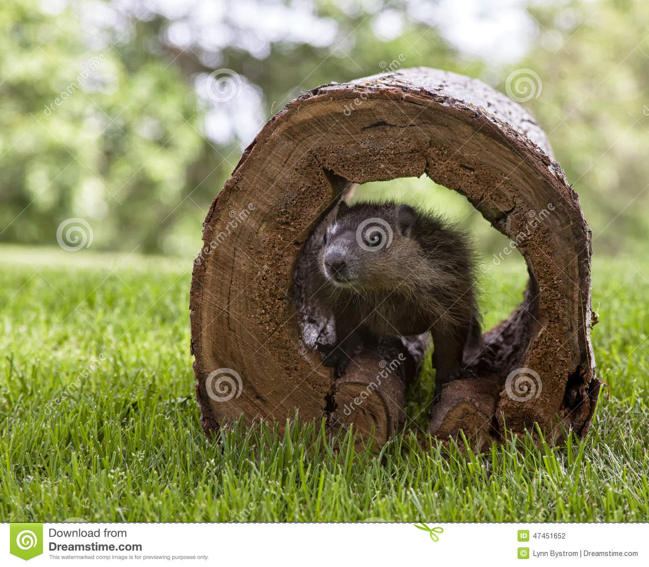 Woodchuck illustrations and clipart 316  Can Stock Photo