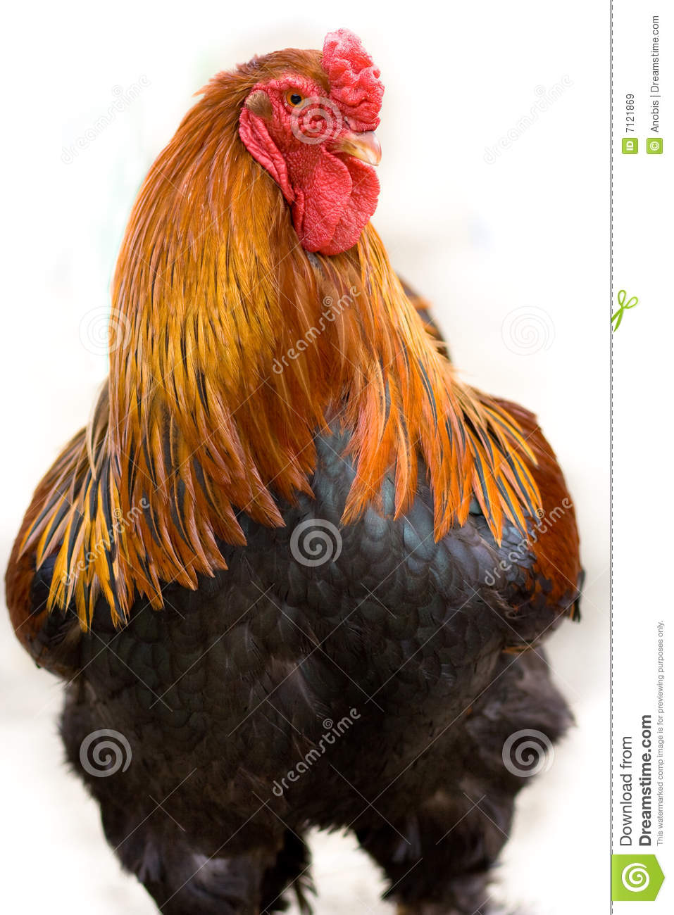 Young hen