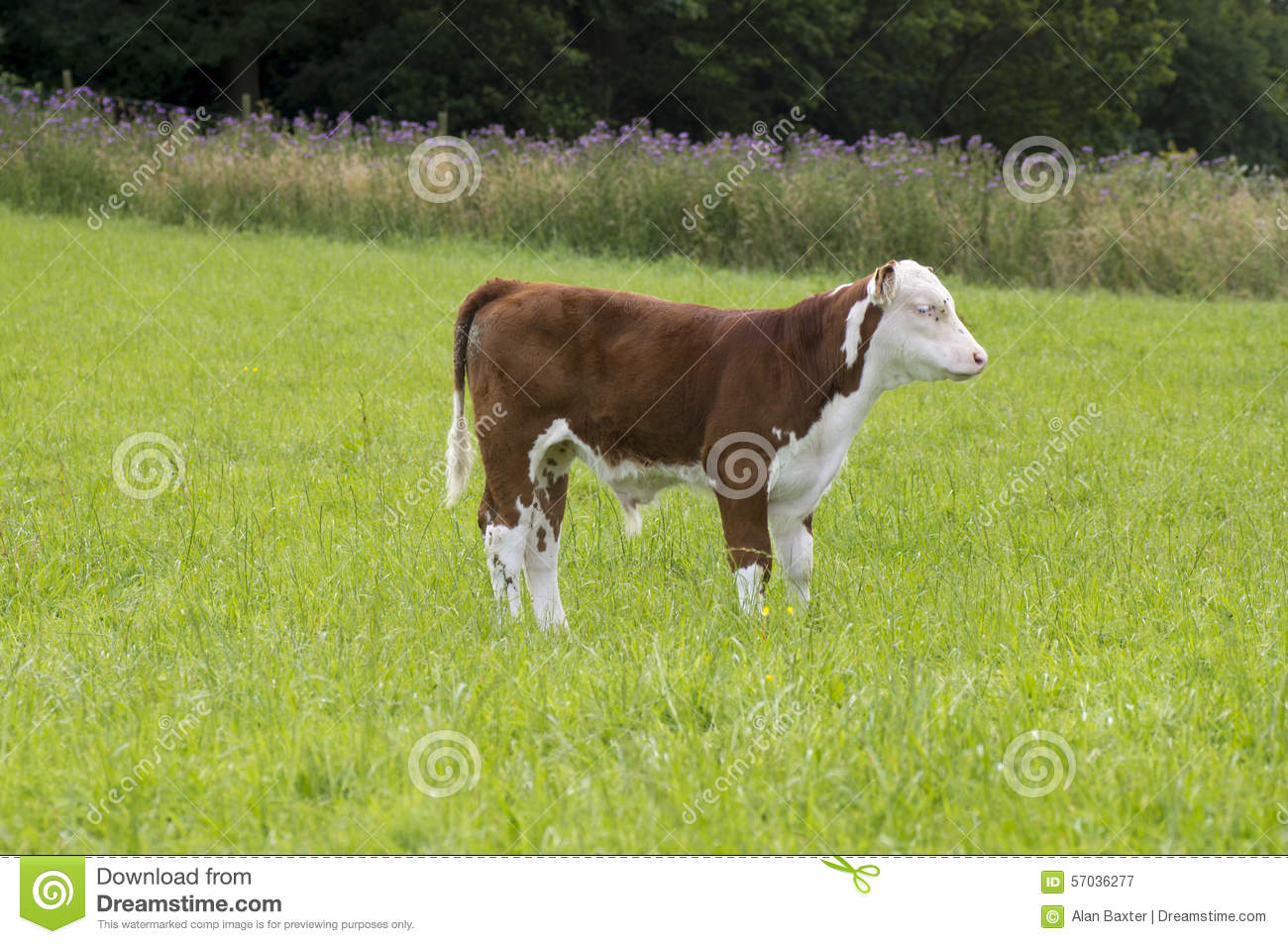 Who is suitable for a male calf dog for marriage 72