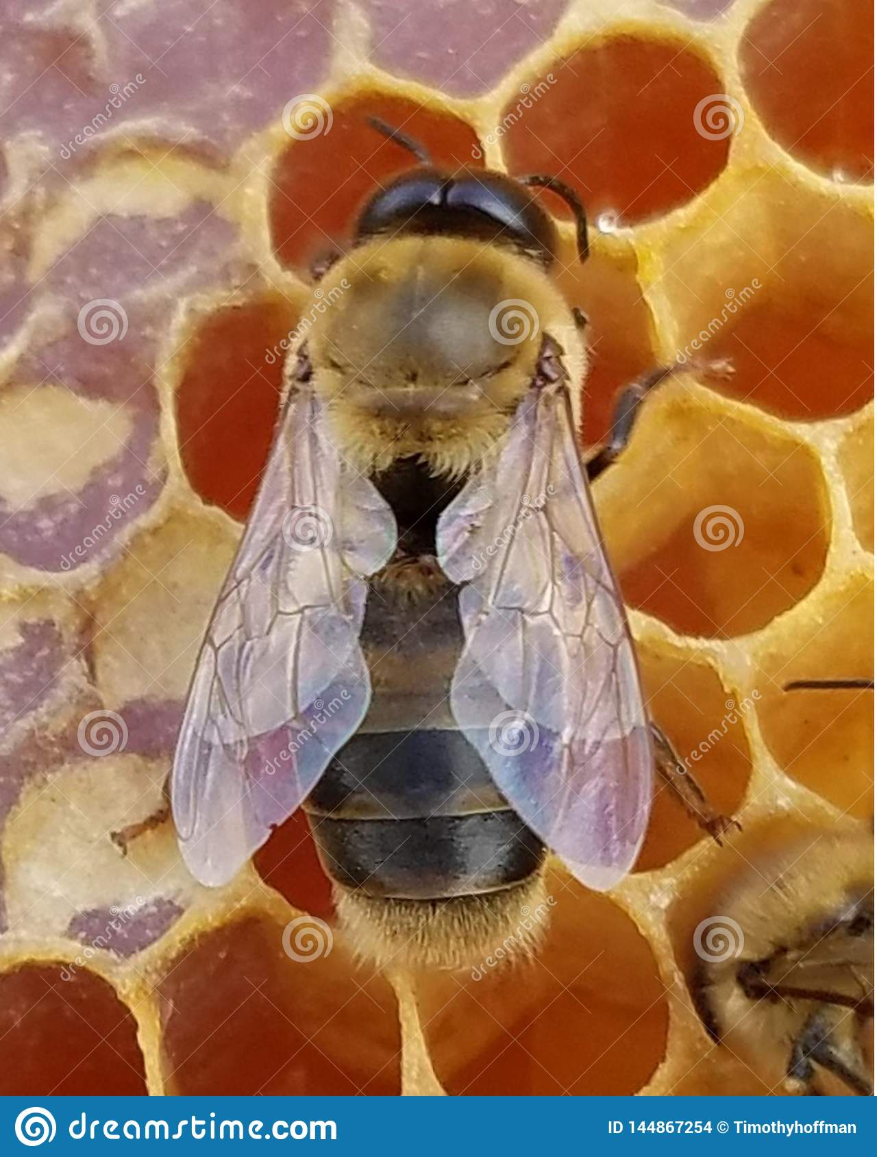 Young Honey Bee Drone on Honeycomb