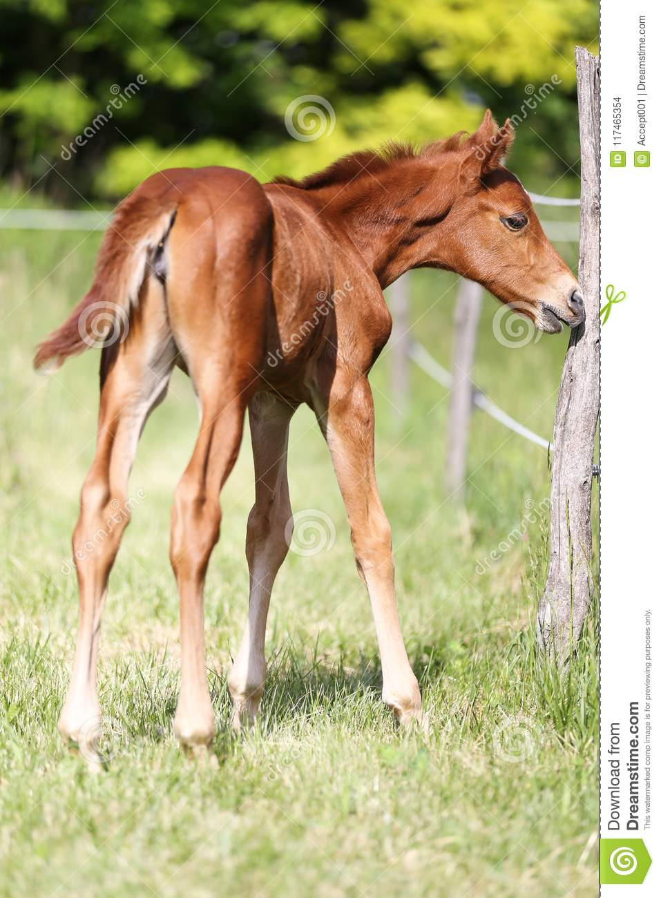 Cute Baby Horse Grazing On Pasture Stock Photo Image Of Field Farmer 117465354