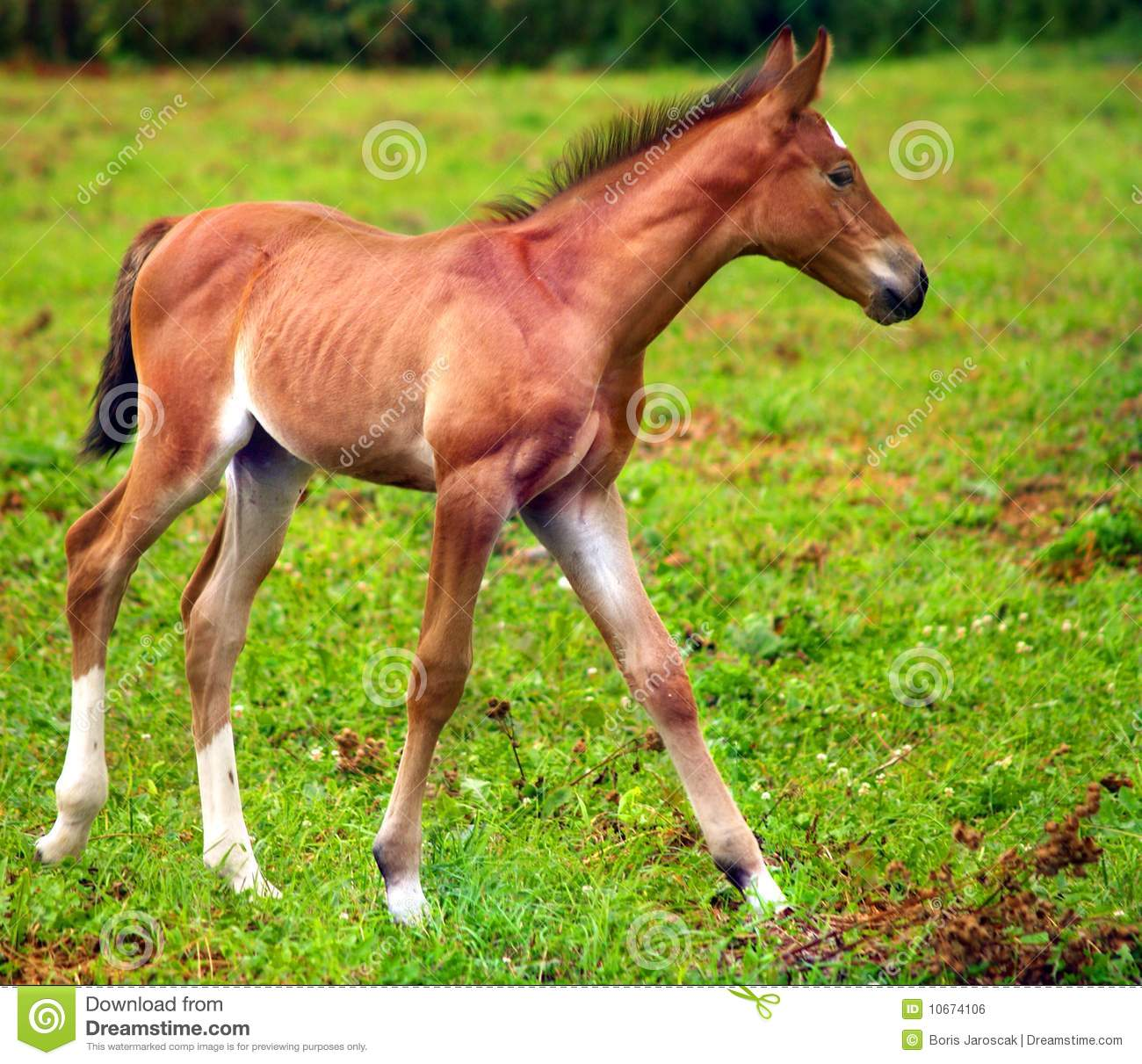 Young horse running