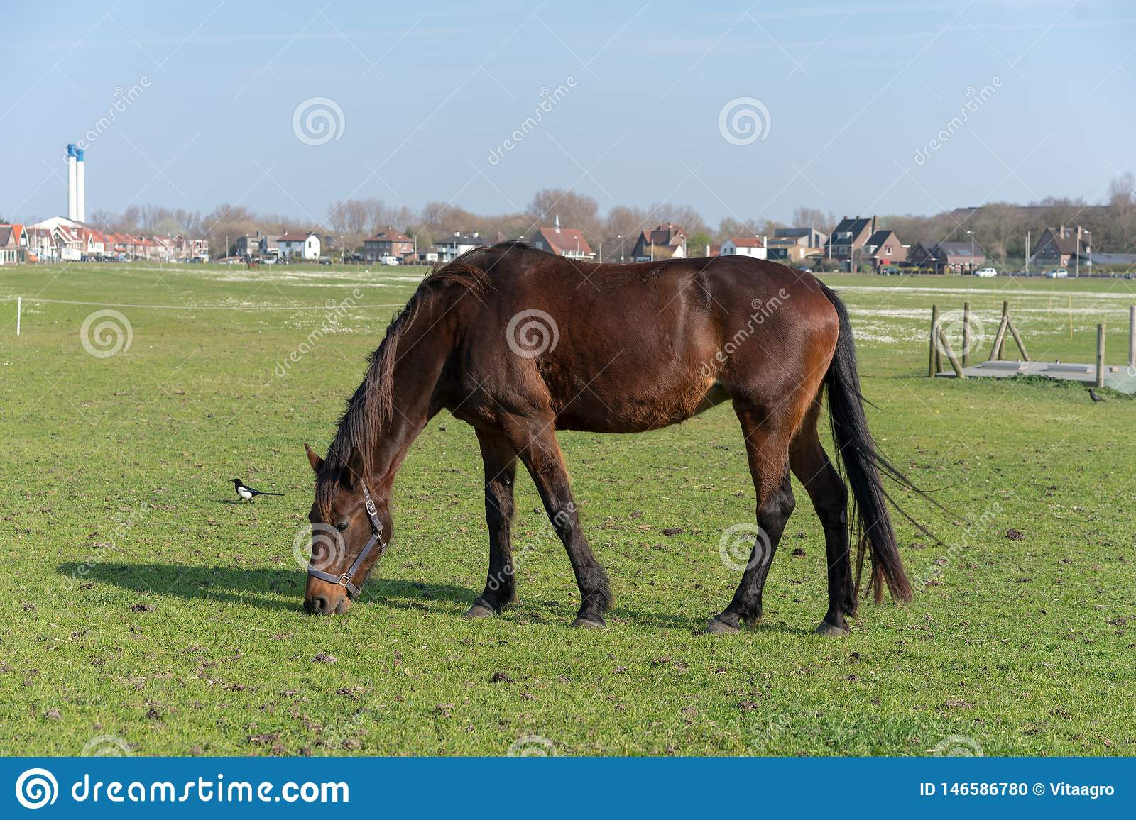 The young horse who is grazed on a summer meadow