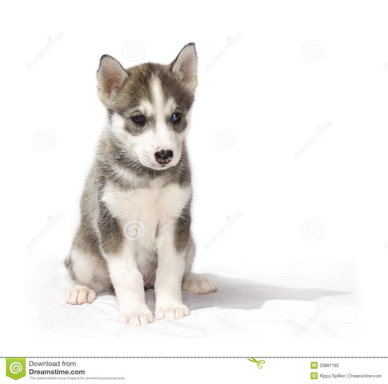 Pet Shop Floor Plan Young Husky Puppy Royalty Free Stock Photo Image 23881185