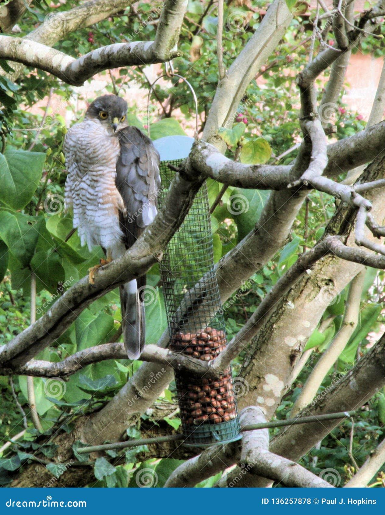 Sparrowhawk at Bird Feeders